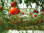 Dutch hothouses could help solve world food crisis
