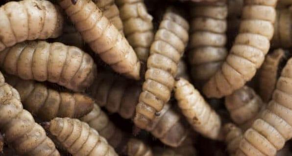 AgriProtein taking its maggot farming international