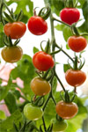The ethylene effect: why some fruits mature after picking and others don't