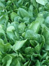 Leafy greens cause most foodborne illnesses in US