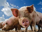 GMO pigs study – more junk science