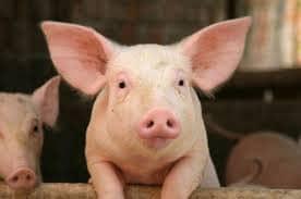 Ethical-pork