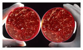 Maastricht's lab-grown meat moves to commercialisation