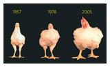 Chicken size