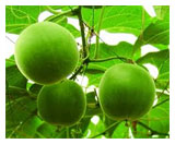 Monk fruit extract adding excitement to high-intensity natural sweetener market