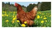 Perdue chickens
