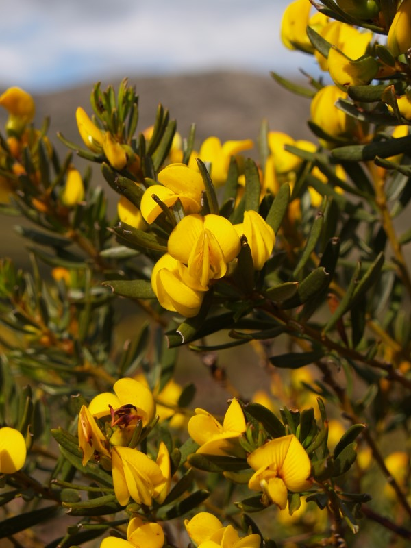 C.-intermedia-flowers-2