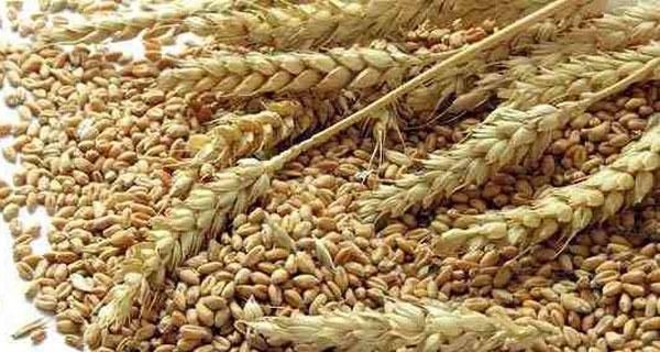 Researchers boost fibre levels in wheat
