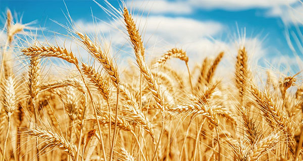 """""""Herculean"""" research finally sequences wheat genome after 13 years of work"""