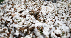 Edible cotton is now a reality - good news for a protein-hungry world