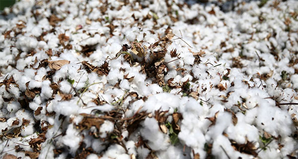 Edible cotton is now a reality – good news for a protein-hungry world