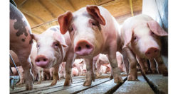 Disease-resistant pigs are here. When might we eat them?