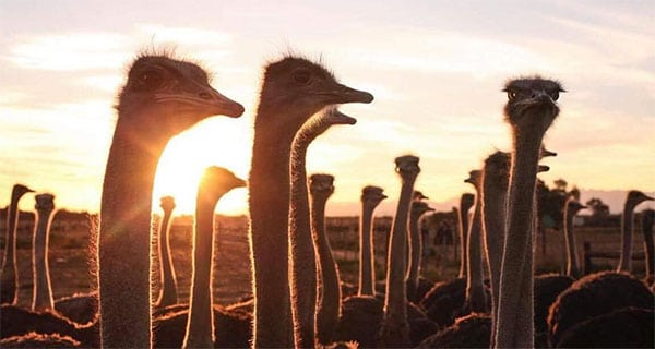 Ostrich majors fight for merger