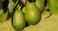 Bad and good news for SA avocado exports to Europe